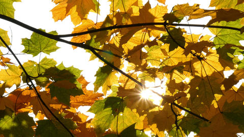 sun shining through autumn maple leaves HQ slow motion 4k 11744 Footage