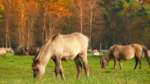 young wild horses grazing in autumn 4k 11745 Footage