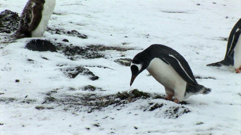 South Georgia: penguin making a nest 1 Stock Video Footage