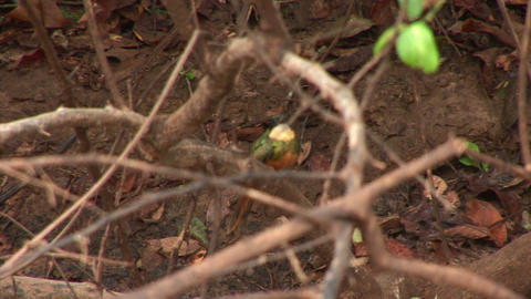 Brazil: Amazon river region birds 2 Stock Video Footage