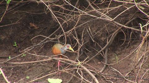 Brazil: Amazon river region birds 3 Stock Video Footage