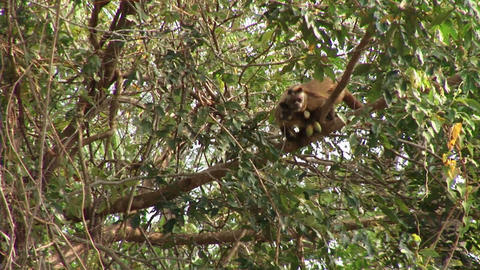 Brazil: monkeys running on a trees in Amazon 5 Stock Video Footage