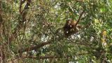 Brazil: monkeys running on a trees in Amazon 5 Footage