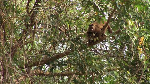Brazil: monkeys running on a trees in Amazon 5 Stock Video Footage