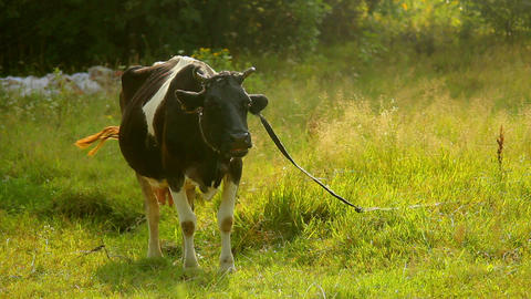Cow 2 Stock Video Footage