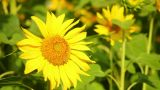 Sunflowers 1 stock footage