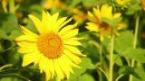 Sunflowers 1 Footage