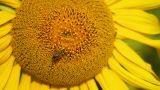 Sunflowers 3 Footage