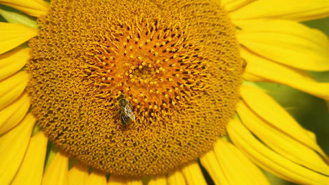 Sunflowers 3 Stock Video Footage