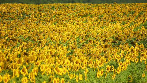 Sunflowers 5 Stock Video Footage
