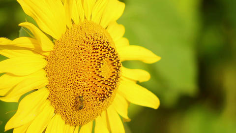 Sunflowers 7 Stock Video Footage