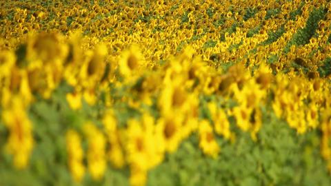 Sunflowers 9 Stock Video Footage