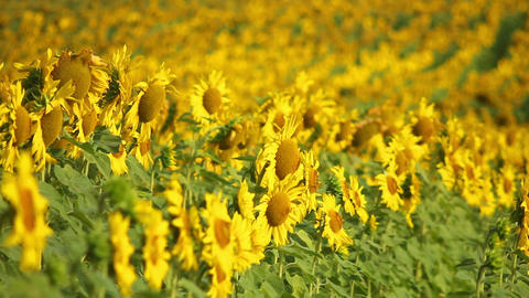 Sunflowers 9 Stock Video Footage