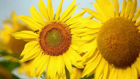 Sunflowers 11 Stock Video Footage