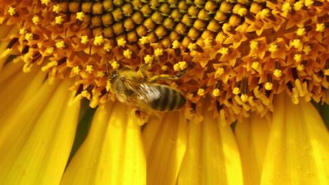 Sunflowers 13 Stock Video Footage