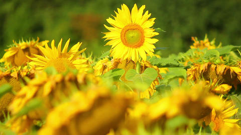 Sunflowers 17 Stock Video Footage