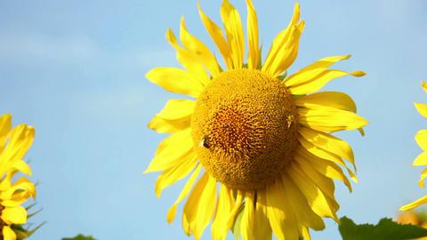 Sunflowers 19 Stock Video Footage