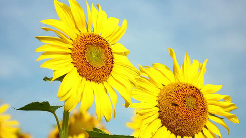 Sunflowers 21 Stock Video Footage