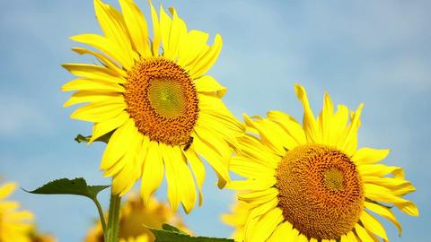 Sunflowers 21 Stock Video Footage