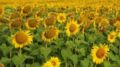 Sunflowers 23 Stock Video Footage