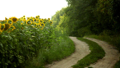 Sunflowers 25 Stock Video Footage