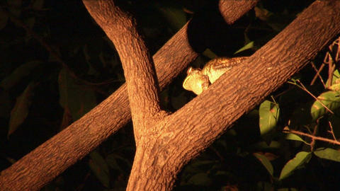 Brazil: searching for frogs in night 2 Stock Video Footage