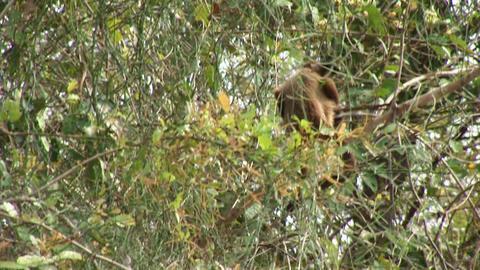 Brazil: monkeys running on a trees in Amazon 3 Stock Video Footage
