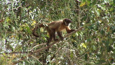Brazil: monkeys running on a trees in Amazon 3 Stock Video Footage