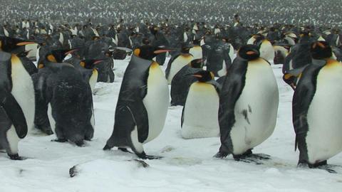 South Georgia: king penguin crowd 13 Stock Video Footage