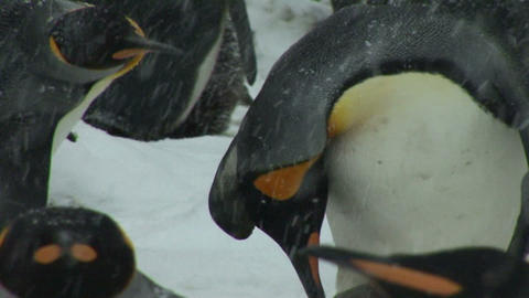 South Georgia: king penguin baby 5 Stock Video Footage