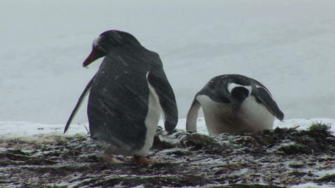 South Georgia: penguin making a nest 2 Stock Video Footage