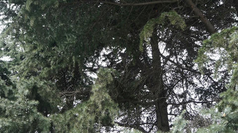 Magpies fly on pine trees Stock Video Footage