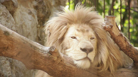 white lion lies in a zoo day Footage