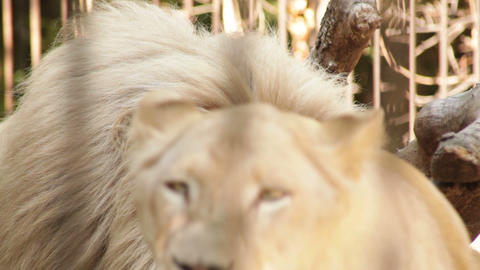 white lion and lioness in the zoo day Footage