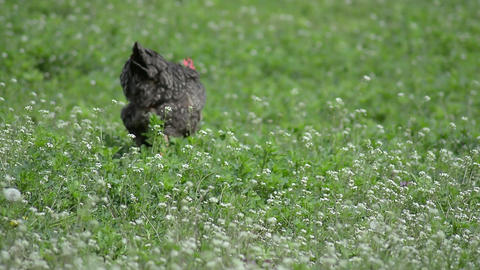 A black hen searching for food on a field with white flowers 9584 Footage