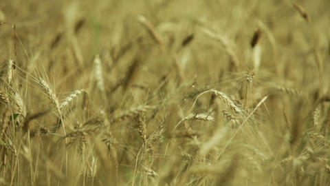 ears in a field of golden wheat Footage