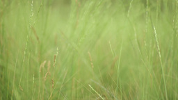 ears in a field of green grass in the afternoon Footage