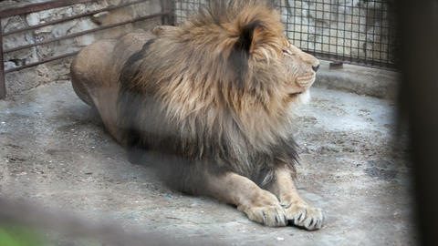 old lion lies in a zoo day Footage