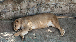 Lioness lying on its side in a zoo day Footage