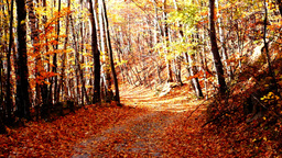 Path through forest, copper colored tree, falling leaves Footage
