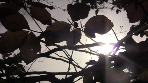 Sun saw the dried leaves of trees 70 Footage