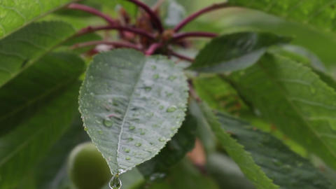 Tree leaves in rain 05 Footage