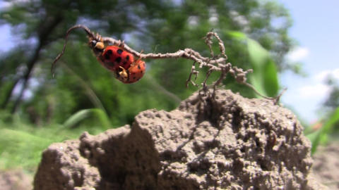 Two lady bird was walking on a root sticking out of the ground 109 Footage