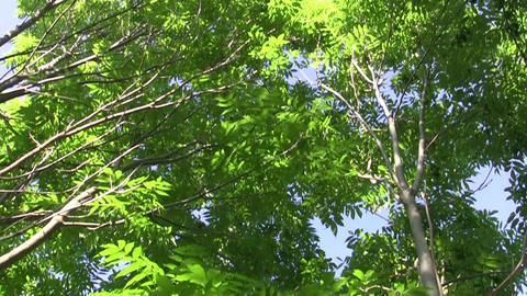 Vertical panorama among green branches of a tree 35 Footage