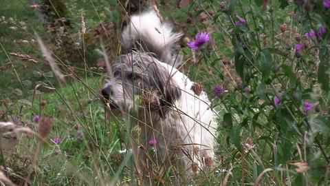 White dog barking in the garden 02 Footage