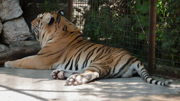 2514 Tiger lying on its side in a zoo day Footage