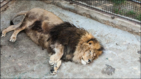 2520 old lion lying on its side in a zoo day Footage