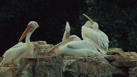Group of Pelicans Preening Feathers Footage
