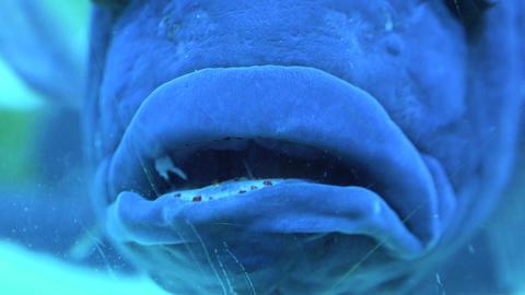 Big Blue Monster Fish in Aquarium. Blue background. 4K UltraHD, UHD Live Action