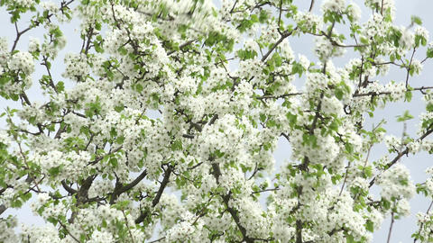 Blossoms Cherry Tree with Gray Sky Background. Zoom in/out. 4K UltraHD, UHD Footage